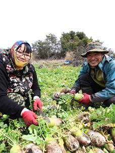 월동무를 수확하는 농부들의 모습